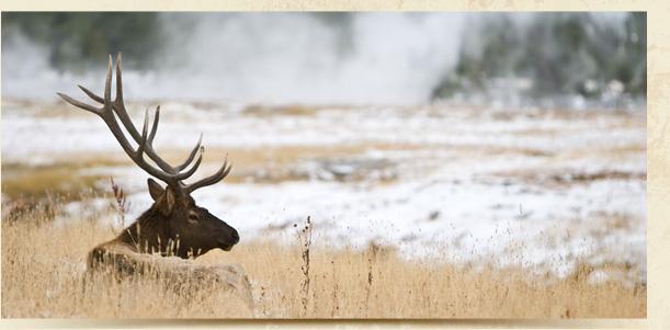 Elk in golden grass.