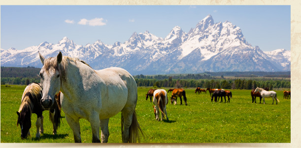 Horses grazing with Teton mountains in the background